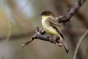 Tiny Hunter - Eastern Phoebe - Jarrett Art