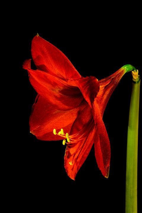 Red Amaryllis (Hippeastrum) Profile - Jarrett Art