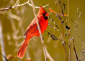 Texas Winter - Northern Cardinal - Jarrett Art