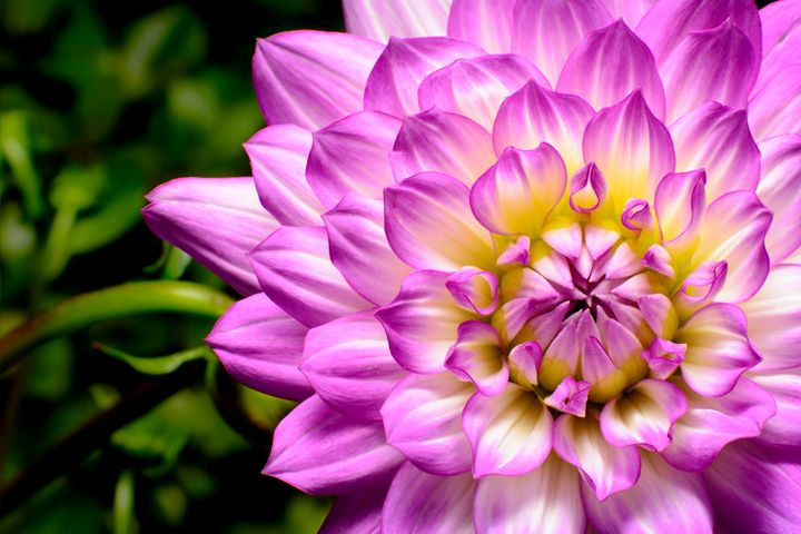 Dahlia Beauty - Jarrett Art