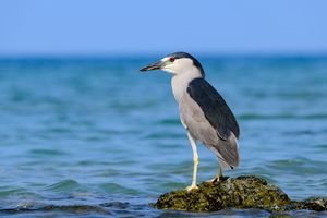 Hawaiian Black Crowned Night Heron