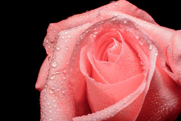 Pink Rose on Black - Jarrett Art