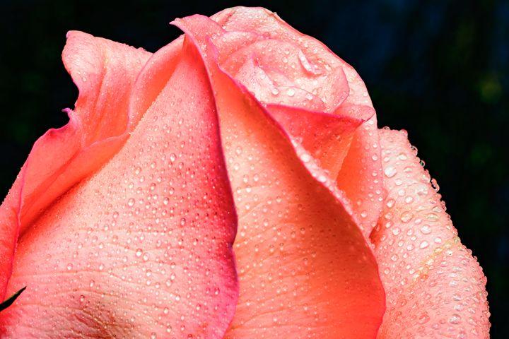 Pink -- Closeup of Single Pink Rose - Jarrett Art