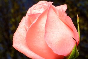 Pink Rose on Bokeh background