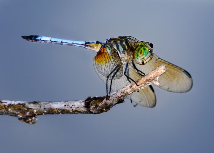 Behind the veil -- Blue dasher - Jarrett Art