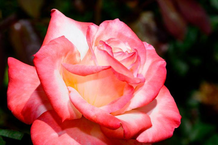 Single Pink Rose in garden - Jarrett Art
