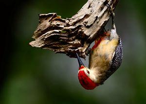 Yucatán woodpecker - Jarrett Art