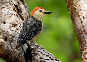 Yucatan Woodpecker - Jarrett Art