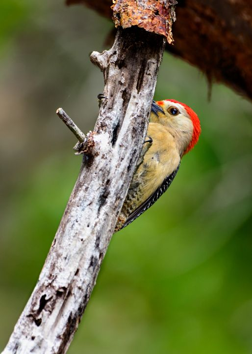 Yucatan Woodpecker - Jarrett Art