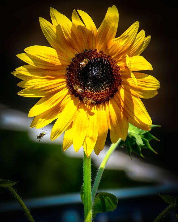 Sunflower Radiance - Jarrett Art
