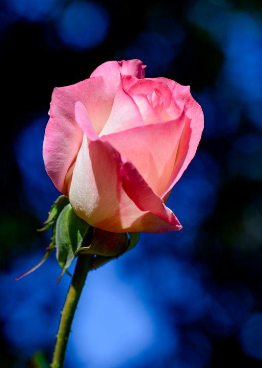Single Pink Rose on Blue Background - Jarrett Art