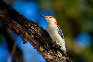 Red-Bellied Woodpecker - Jarrett Art