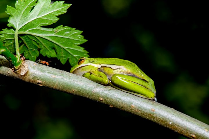 Standoff -- Little Green Tree Frog - Jarrett Art