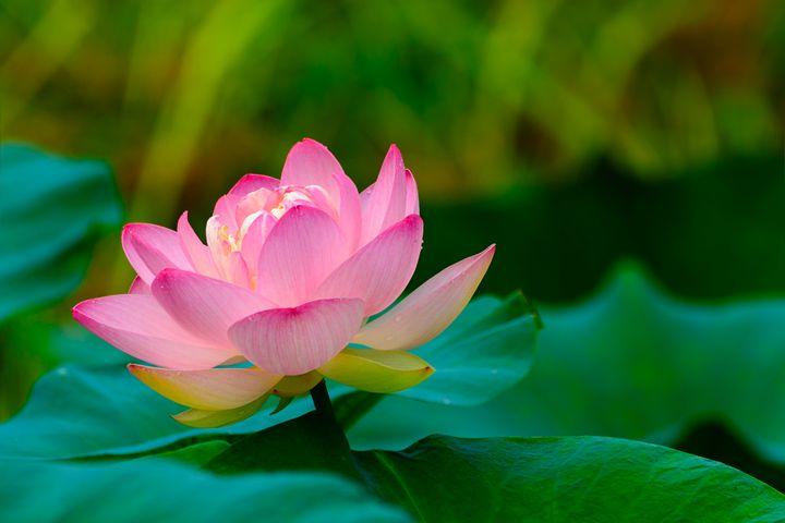 Pink Water Lily or Lotus flower surr - Jarrett Art