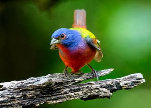 Joseph's Coat - Male Painted Bunting