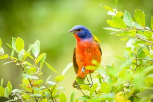 Rainbow Bird -- Painted Bunting