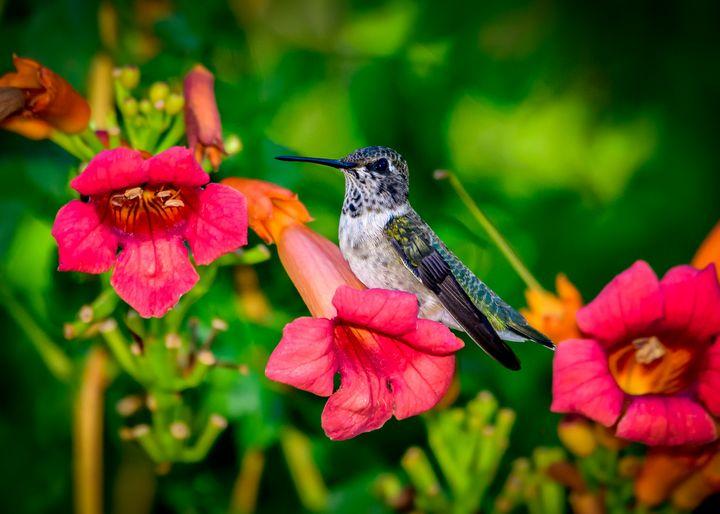 Hummingbird at rest - Jarrett Art