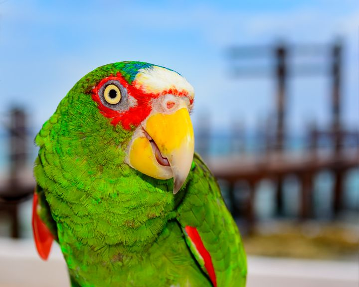 Amazon Parrot - Jarrett Art