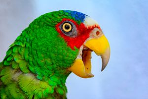 Spectacled Amazon Parrot - Jarrett Art