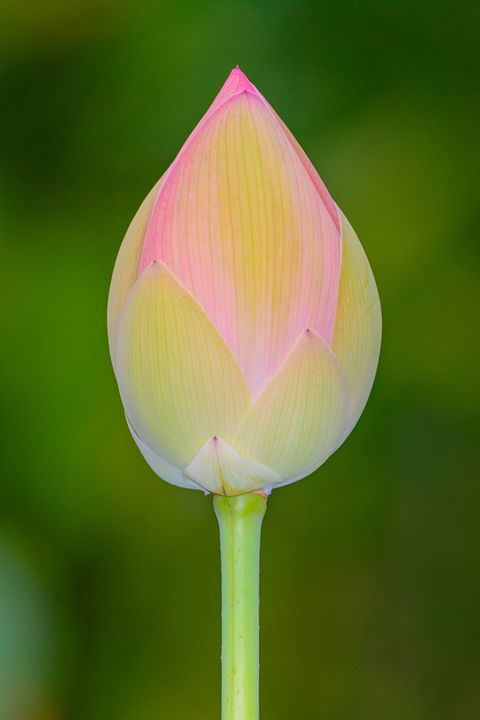Potential – Lotus Bud Ready to open - Jarrett Art