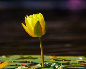Yellow Lotus Blossum Begins to open - Jarrett Art