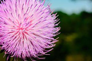 Pink Thistle Wild - Jarrett Art