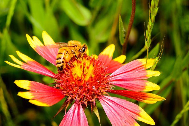 Firewheel Wildflower with Honey bee - Jarrett Art