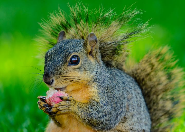 Closeup of squirrel eating a radish - Jarrett Art