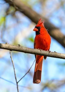 Male Northern Cardinal - Jarrett Art