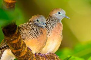 Pair of Peaceful Dove - Jarrett Art