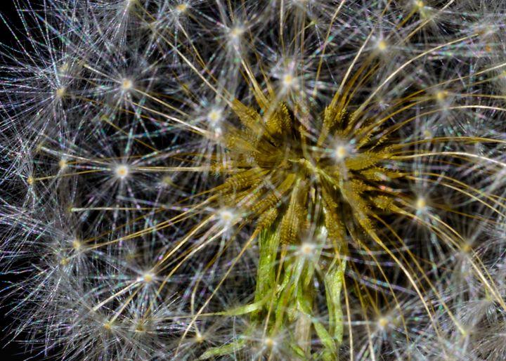 Dandelion Seed head Close-up - Jarrett Art