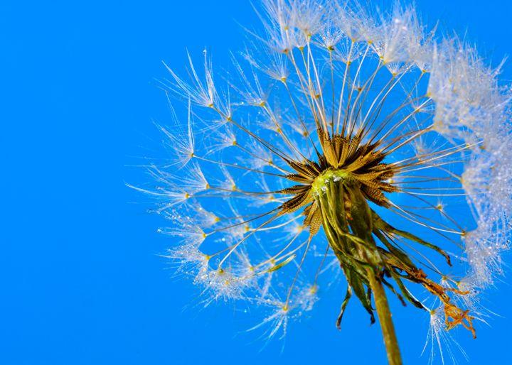 Dandelion Seed head With Clear Blue - Jarrett Art
