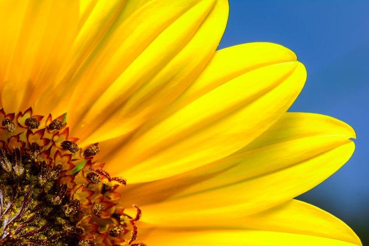 Texas Sunflower - Jarrett Art