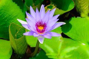 """Purple water lily Nymphaea """"Director - Jarrett Art"""