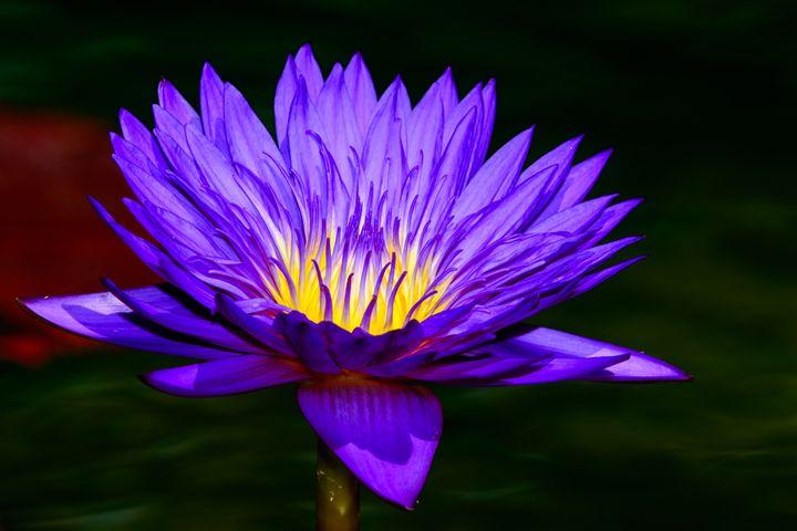 Water Lily Sunrise Glow - Jarrett Art