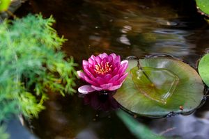 Waterlilly in Blossom