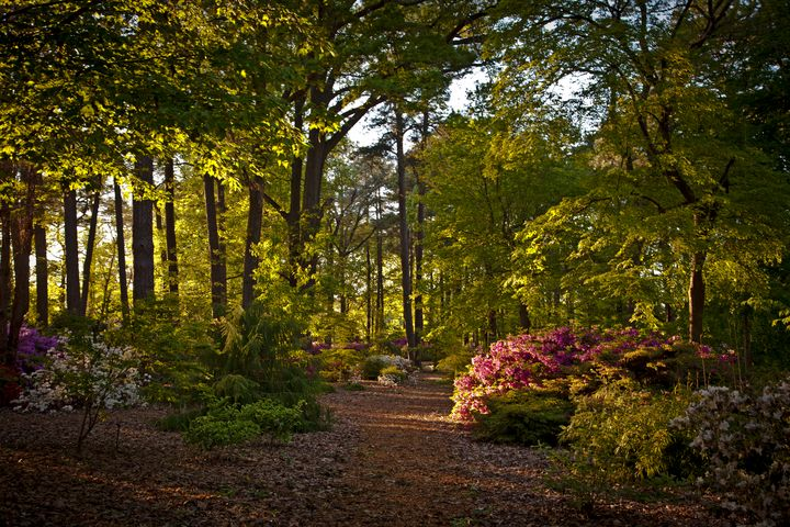 Rhodies and Azaleas Late Afternoon - Peaceful Prints & Wall Murals