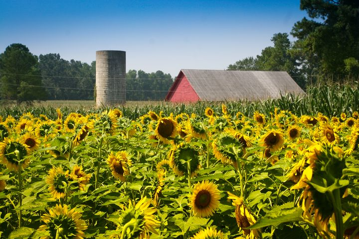 Cheerful Sunflowers, Red Barn & Silo - Peaceful Prints & Wall Murals