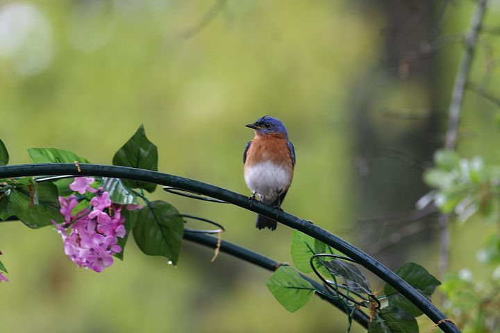 Bluebird on Arbor in Spring Rain - Peaceful Prints & Wall Murals