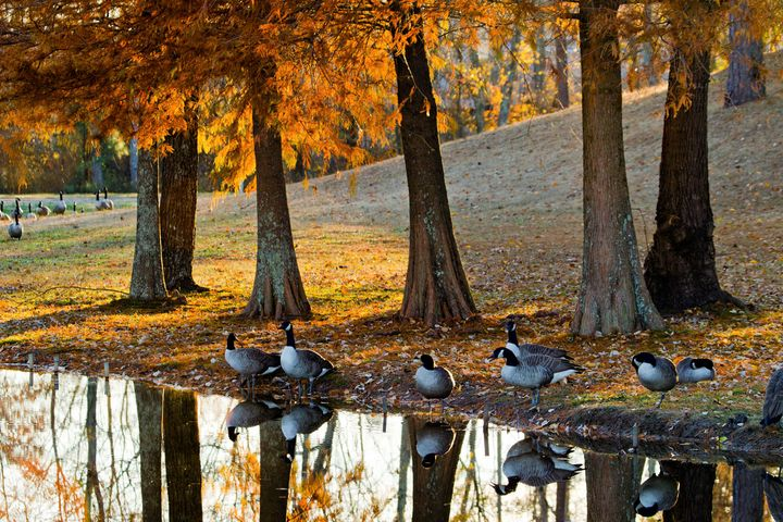 Gathering Geese - Peaceful Prints & Wall Murals