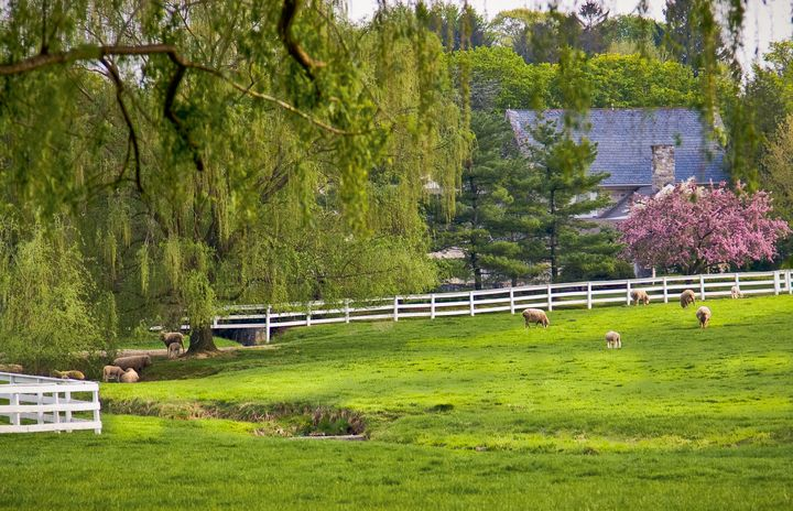 Sheep in the Pasture in Spring - Peaceful Prints & Wall Murals