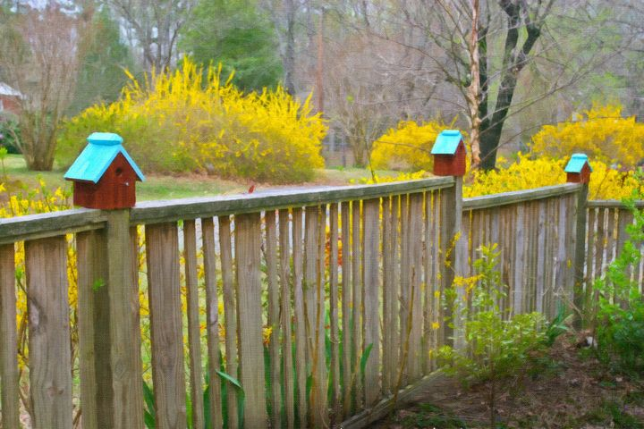 Birdhouses and Forsythia in Spring - Peaceful Prints & Wall Murals