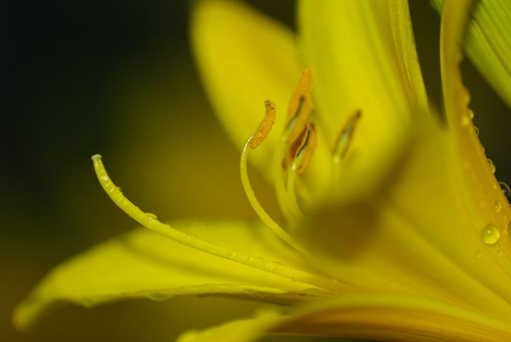 Yellow Lily - PhotoSafari