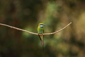Green bee-eater bird sat on tree