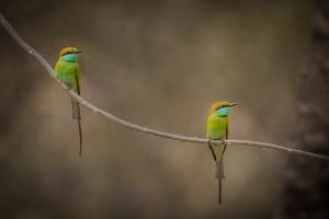 two Green beeeater birds sat on tree