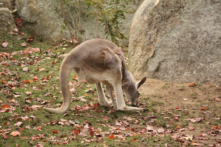 Kangaroo - SUHANYA