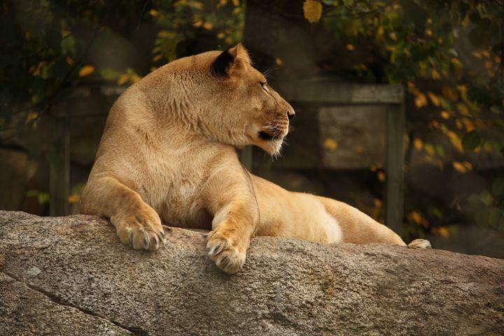 Majestic Lion - SUHANYA