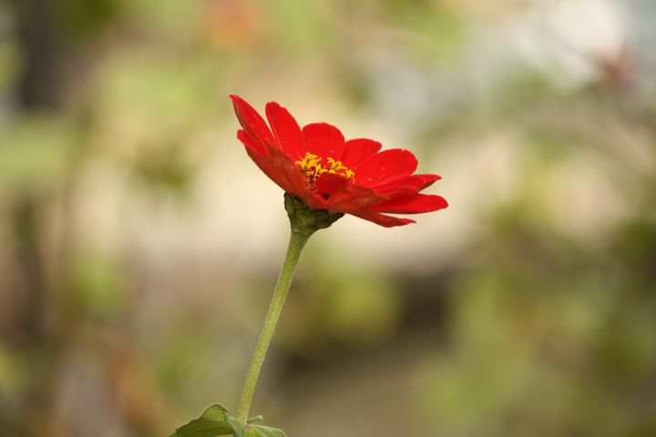 A red daisy - SUHANYA