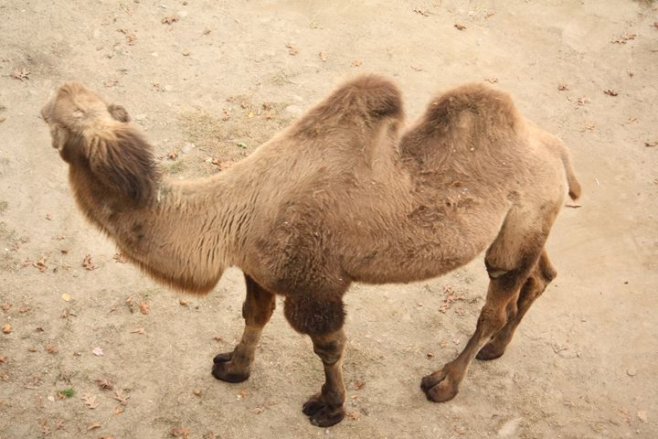A camel - SUHANYA
