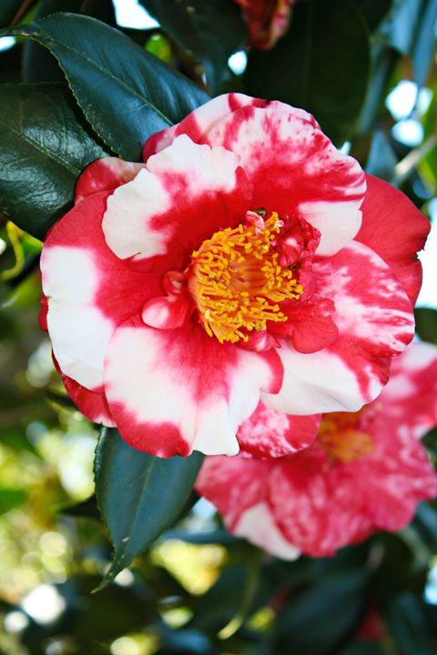 Camellia Love - Vanessa Zachry